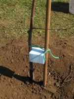 Ein Pfahl unterstützt den Jungen Baum einen geraden Wuchs zu erhalten. Um schädliches Reiben des Stammes am Pfahl durch Wind vorzubeugen kann auf spezielle Knoten (8er Knoten) oder anderes Material zurückgegriffen werden.