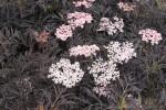 Die Sorte Black Lace überzeugt mit rosa Blüten und geschlitzten Blättern.