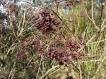 Black Lace im Herbst: die reifen Früchte sind attraktiv.