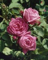 Foto: Hundertblütenblättrige Rose